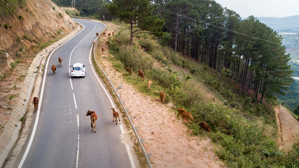 A herd of cows standing on the mountain asphalt road : cows stopped different mode of transport on the road,Vietnam road over Dalat area