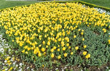 Tulips in public garden