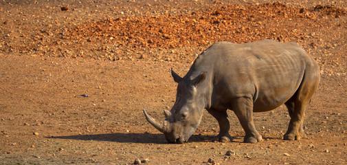 Nashorn mit Textfreiraum