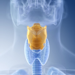 medically accurate illustration of the larynx
