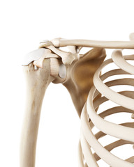 medically accurate illustration of the human skeletal shoulder