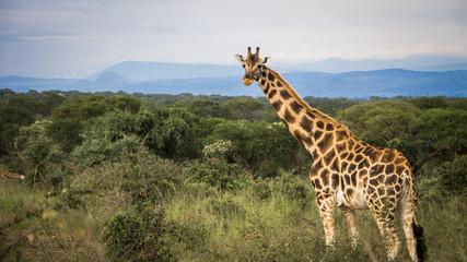 Giraffe in the Heart of Africa
