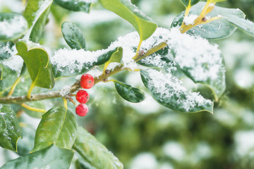 Christmas Holly Bush Red Berries Light Snow Watercolor