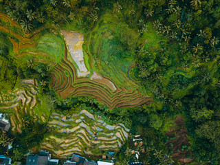 Top view or aerial shot of fresh green and yellow rice fields. Rice Terrace in bali.