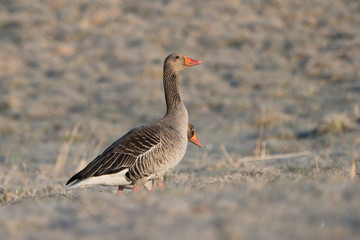 Two greylag geese where one is almost hidden behind the other