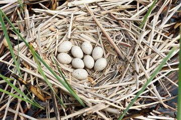 Fulica atra. The nest of the Common Coot in nature.