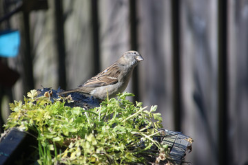 Sparrow in the garden enjoys the sun