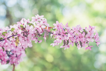 Branch of blooming spring tree, pink flowers close-up. Natural light sunny background with vivid bokeh