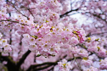 Beautiful cherry blossoms in Queen Elizabeth Park, Vancouver, BC, Canada