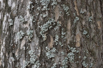 the texture of the tree bark pine gray moss lichen