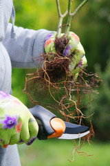 Fototapeta Planting plants step by step / ornamental shrub - root pruning secateurs obraz