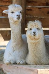 The pair of alpacas lying down