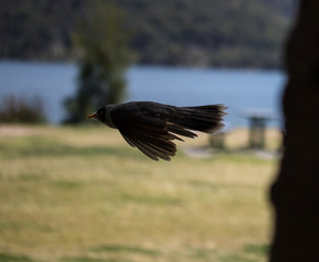 Bird In Flight, Hawkesbury River, NSW, Australia