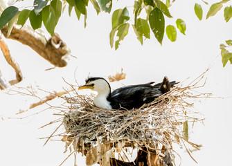 Nesting Bird, NSW, Australia
