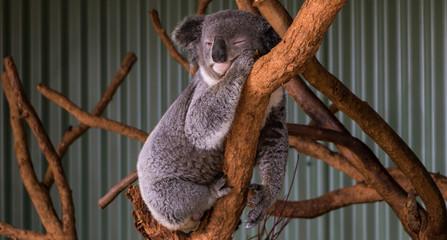Sleeping Koala, NSW, Australia