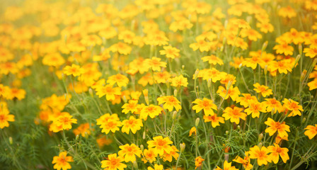 Blurred summer background with Tagetes tenuifolia flowers