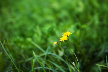 Nature Summer Background with autumn hawkbit flowers.