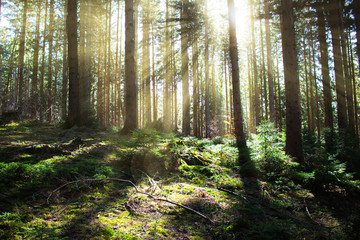Magical sunrays in german coniferous forest
