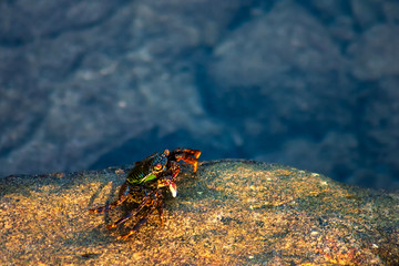 golden sun light shining on colorful crab on the rock in front of crystal clear sea water in background