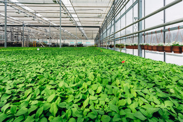 Growing of seedlings of petunia and other ornamental plants  in nursery in modern hydroponic greenhouse with climate control system