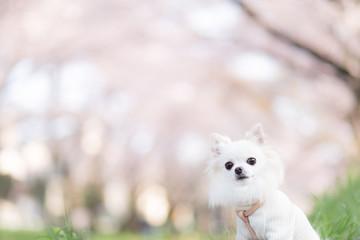チワワと桜 14