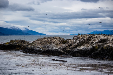 Cormorant colony on an island at Ushuaia in the Beagle Channel, Tierra Del Fuego, Argentina
