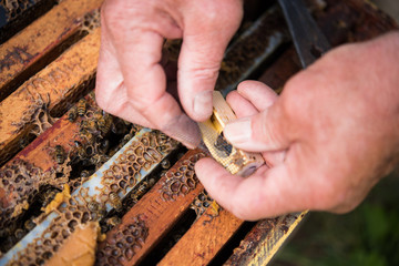 Beekeeper holding a wooden queen cage
