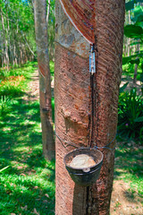 Concept of collecting latex from hevea tree. Cup for collecting latex is fixed on the trunk. In the bowl collected latex.