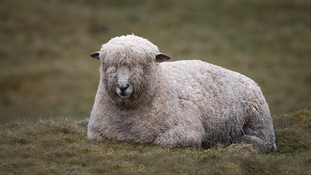 A close up of a wet wooly sheep lying down on the grass in the rail. Raindrops can be seen in the photo