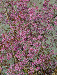 Cherry flowers blooming at spring