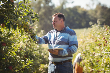 Farmer using digital tablet while inspecting apple tree in apple orchard