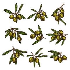 Olive branch with green fruit and leaf sketch