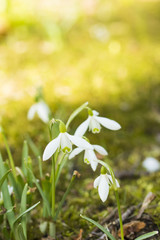 First spring flowers in meadow, snowdrops