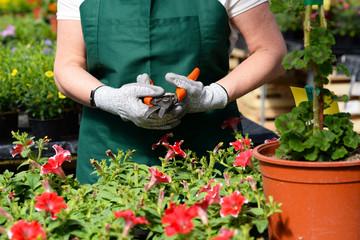 Aluminium Prints Garden Gärtnerin mit Ausrüstung/Werkzeug/Gartenschere im Gewächshaus einer Gärtnerei mit Blumenhandel /// Woman working in a nursery - Greenhouse with colourful flowers
