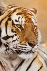 Close up of a Siberian tiger (Panthera tigris altaica).