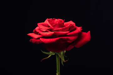 close up view of beautiful red rose isolated on black