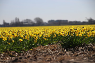 Fields full with yellow daffodills in the Bollenstreek, an area in the Netherlands with lot of fields with colored bulb flowers