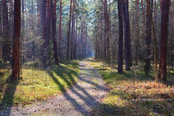 Road among trees, Kampinos National Park (Kampinoski Park Narodowy), Mazovia, Poland.