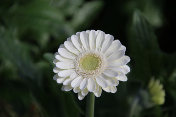 Gerbera type Albino in a greenhouse in nieuwerkerk aan den ijssel in the Netherlands