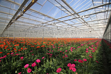 Field of gerbera flowers in a greenhouse in Nieuwerkerk aan den IJssel with red and purple lights to let them grow faster.
