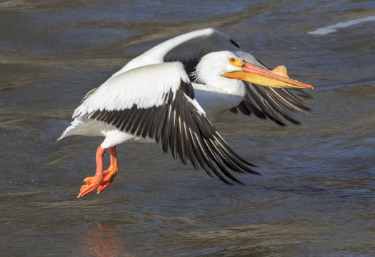American white pelican (Pelecanus erythrorhynchos) in breeding plumage taking off, Saylorville, Iowa, USA
