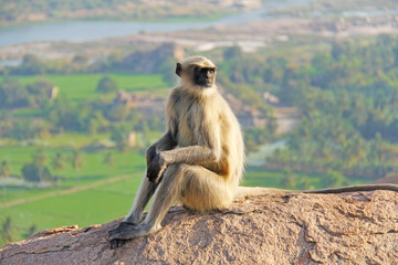 A monkey with a black face or snout sits on top of a mountain in India, Hampi, on Mount Hanuman