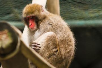 Macaco da cara vermelha japonês