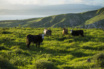 Grazing cows in meadows in the mountains at sunset