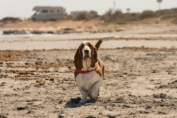 Beautiful and healthy young dog Basset Hound walking happily by the beach in summer