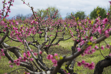 Peach tree garden blooming with pink flowers in orchard. View through tunnel between rows of trees to the mountains. Kakheti, Georgia