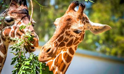 Giraffe eat leaves