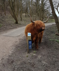 Wild Scottisch Highland cattle in the dunes in The Hague, the Netherlands