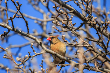 A female Northern Cardinal (Cardinalis cardinalis) perched in a tree.