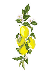 Citrus fruit branch with blooming flowers and lemons. Juicy green leaves with flowersr of pink tone colors